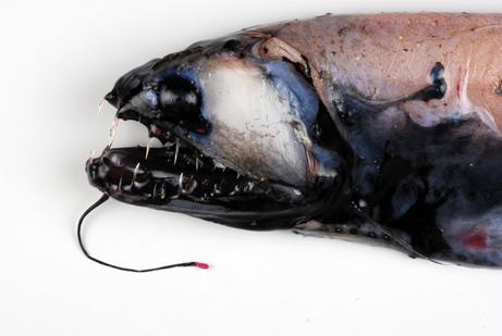 Predatory fish pbf blog for Predatory freshwater fish
